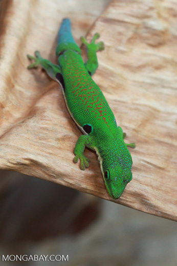 Four Spot Day Gecko (Phelsuma quadriocellata quadriocellata) [madagascar_0320]