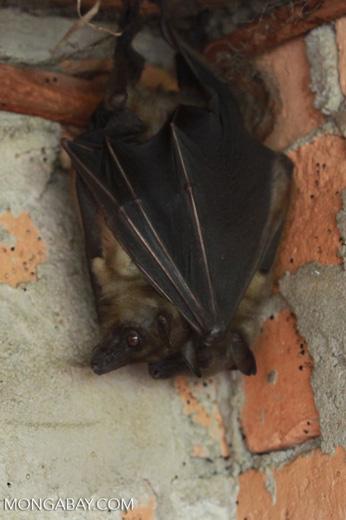 Madagascar fruit bat (Pteropus sp)