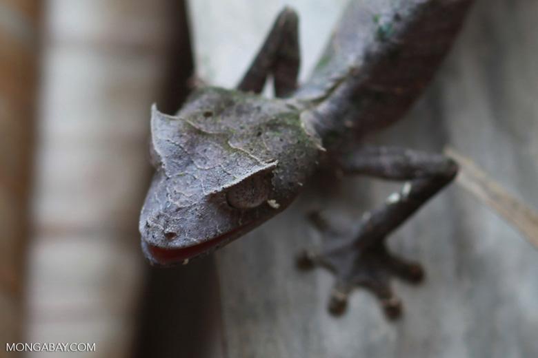 Satanic Leaf-tail Gecko (Uroplatus phantasticus) [madagascar_0337]