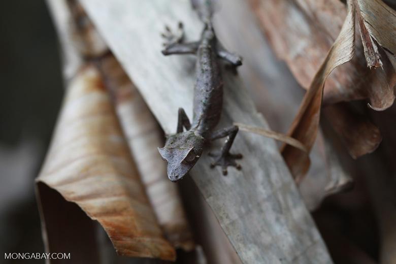 Satanic Leaf-tail Gecko (Uroplatus phantasticus) [madagascar_0346]