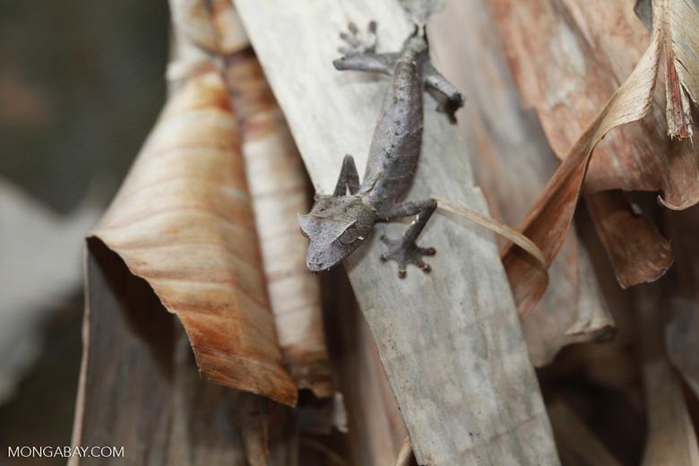 Satanic Leaf-tail Gecko (Uroplatus phantasticus) [madagascar_0348]