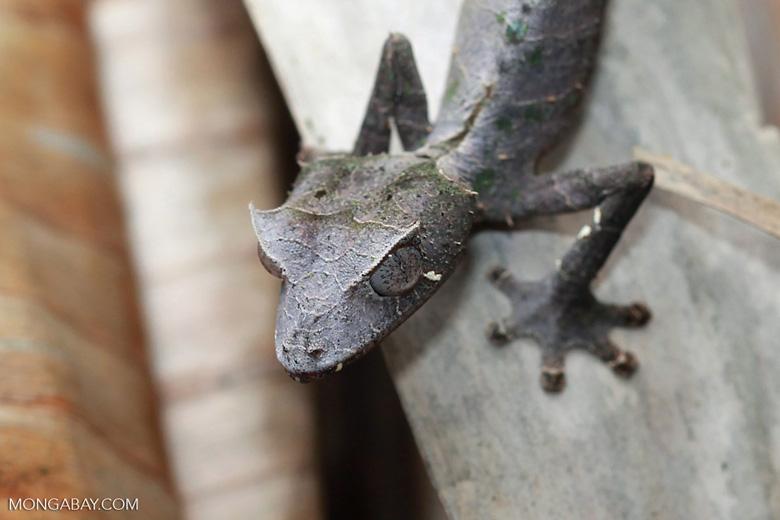 Satanic Leaf-tail Gecko (Uroplatus phantasticus) [madagascar_0349]