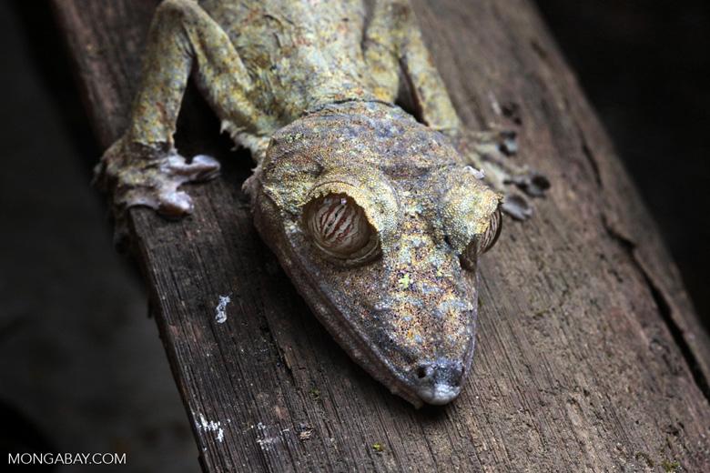 Giant Leaf-tail Gecko (Uroplatus fimbriatus) [madagascar_0364]