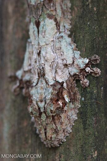 Mossy Leaftail Gecko (Uroplatus sikorae) [madagascar_0367]