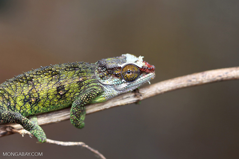 Jeweled Chameleon (Furcifer campani) [female] [madagascar_0384]