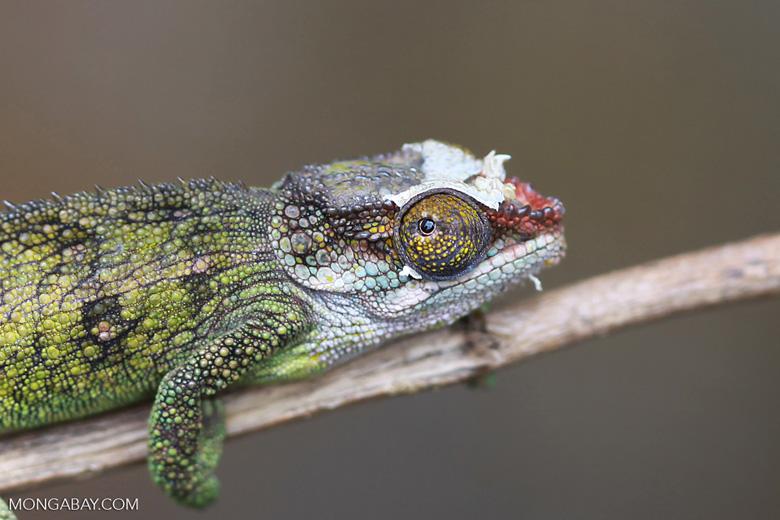 Jeweled Chameleon (Furcifer campani) [female] [madagascar_0386]