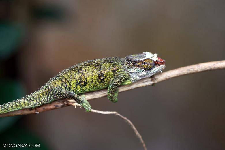 Jeweled Chameleon (Furcifer campani) [female] [madagascar_0387]