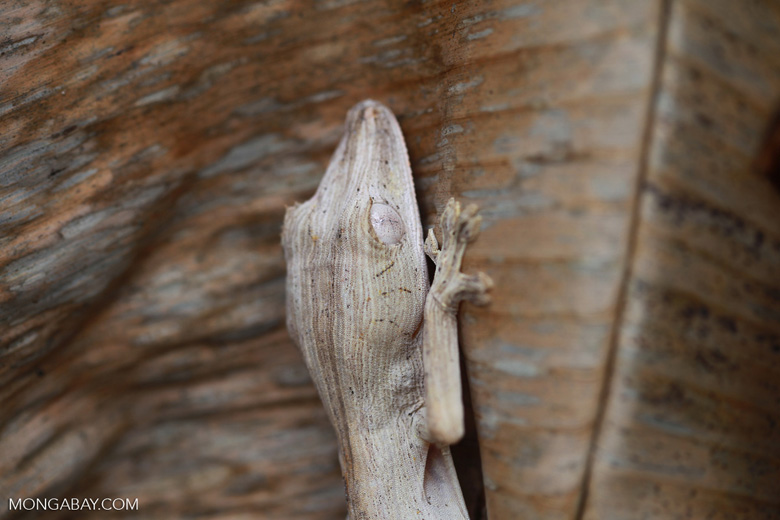 Lined Leaf-Tail Gecko (Uroplatus lineatus) [madagascar_0390]