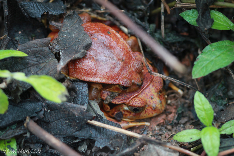 Mating tomato frogs (Dyscophus antongilii)