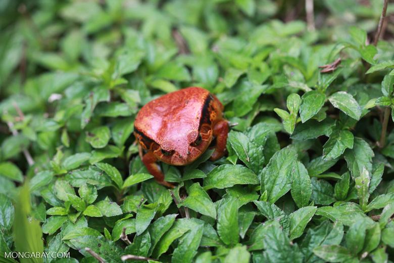 Tomato frog (Dyscophus antongilii)
