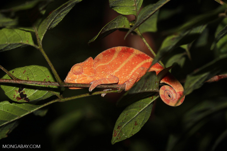 Parson's chameleon (red and yellow) [madagascar_0480]