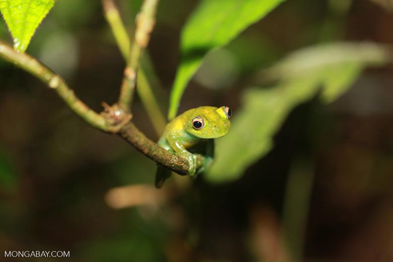 Green Bright-eyed Frog (Boophis viridis) [madagascar_0512]