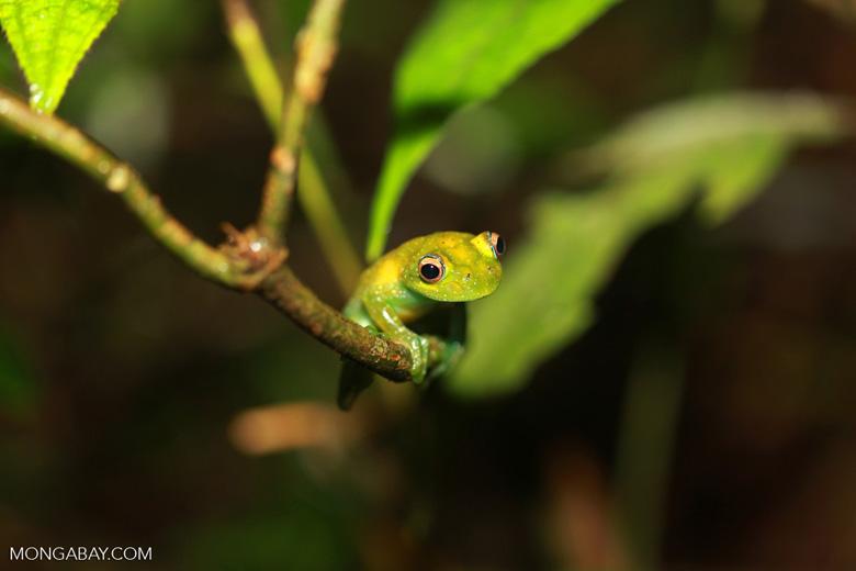 Green Bright-eyed Frog (Boophis viridis) [madagascar_0513]
