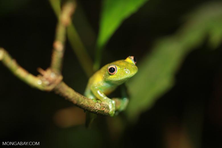 Green Bright-eyed Frog (Boophis viridis) [madagascar_0515]