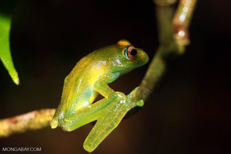 Green Bright-eyed Frog (Boophis viridis) [madagascar_0522]