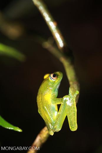 Green Bright-eyed Frog (Boophis viridis) [madagascar_0525]