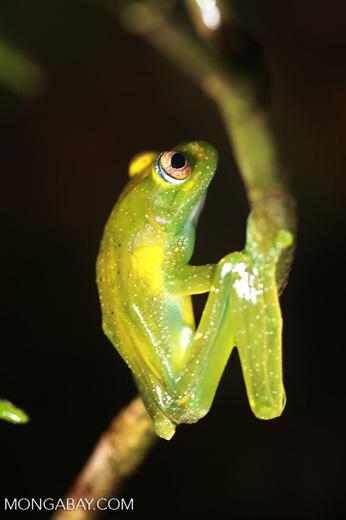 Green Bright-eyed Frog (Boophis viridis) [madagascar_0526]