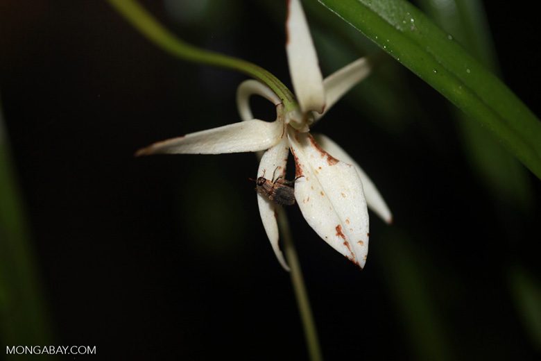 Beetle on an Angraecum orchid