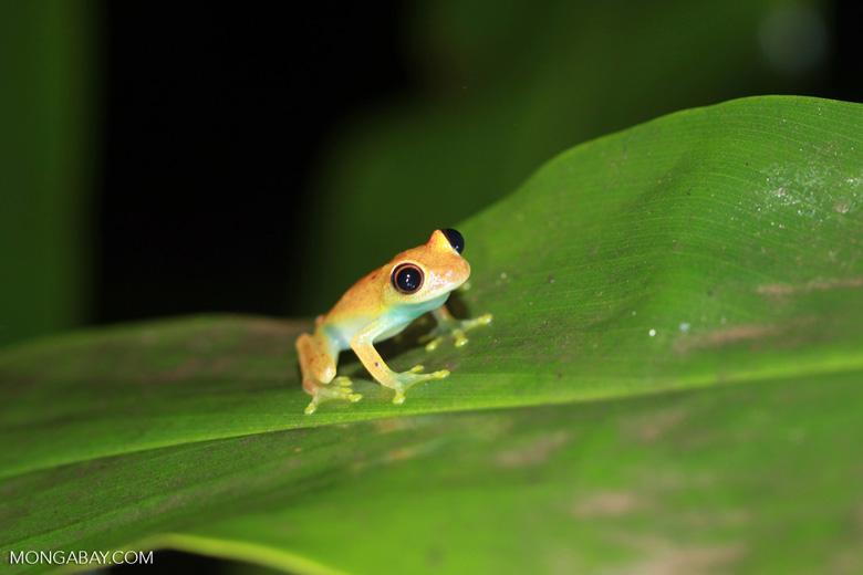 Green Bright-eyed Frog (Boophis viridis) [madagascar_0542]