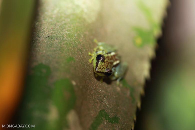 Guibemantis pulcher [madagascar_0552]