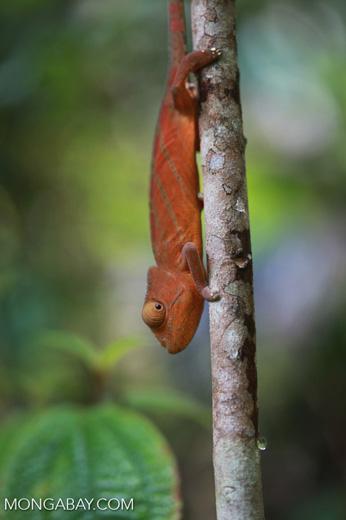 Parson's chameleon (Calumma parsonii) [red-orange with green stripes] [madagascar_0563]