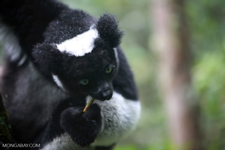 Indri lemur (Indri indri) [madagascar_0589a]