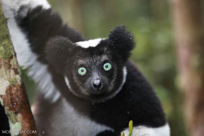 Indri lemur (Indri indri) [madagascar_0591]
