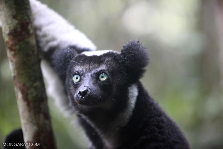 Indri lemur (Indri indri) [madagascar_0599a]