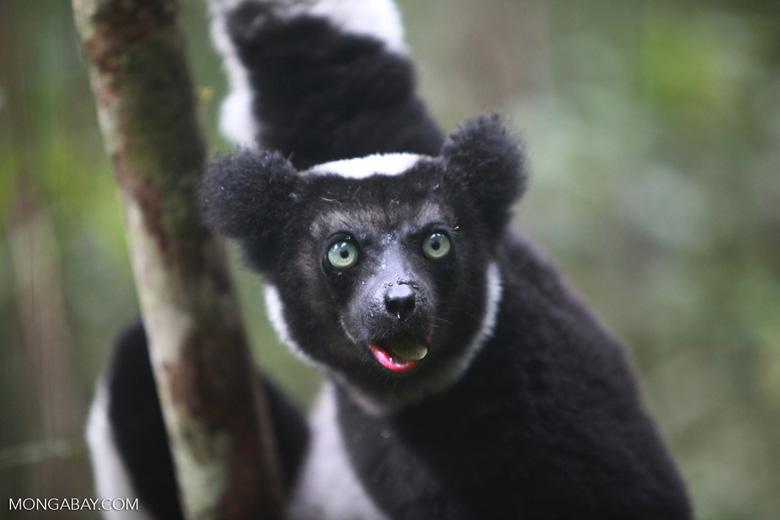 Indri feeding on leaves [madagascar_0607]
