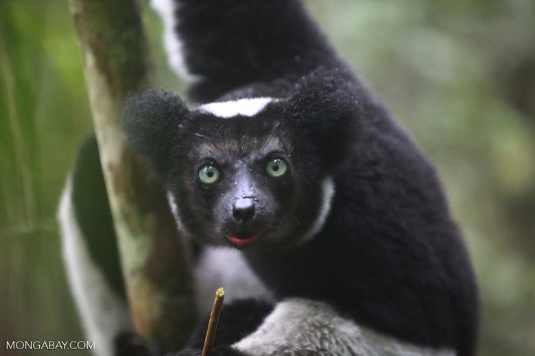 Indri lemur (Indri indri) [madagascar_0608a]