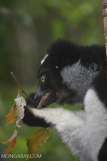 Indri feeding on leaves [madagascar_0659a]