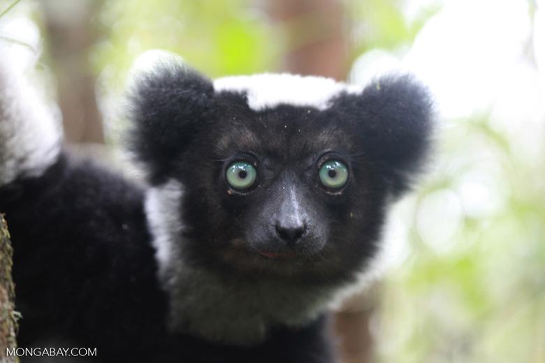 Indri lemur (Indri indri) [madagascar_0669a]