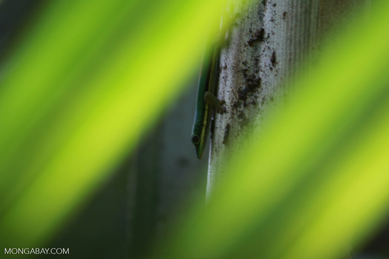 Lined Day Gecko (Phelsuma lineata) in a Pandanus palm [madagascar_0770]