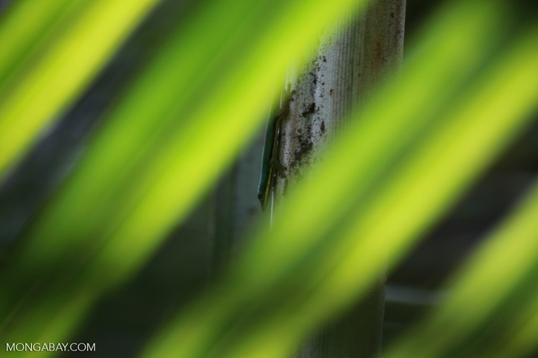 Lined Day Gecko (Phelsuma lineata) in a Pandanus palm [madagascar_0771]