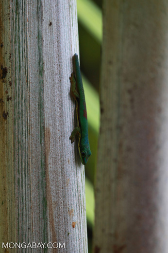 Lined Day Gecko (Phelsuma lineata) in a Pandanus palm [madagascar_0773]