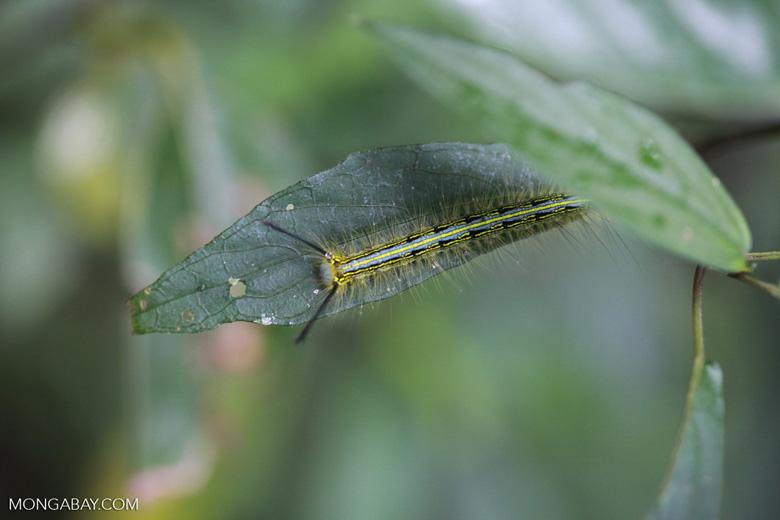 Black, yellow, and blue caterpillar [madagascar_0789]