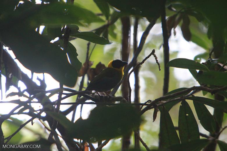 Nelicourvi Weaver (Ploceus nelicourvi) [madagascar_0798]