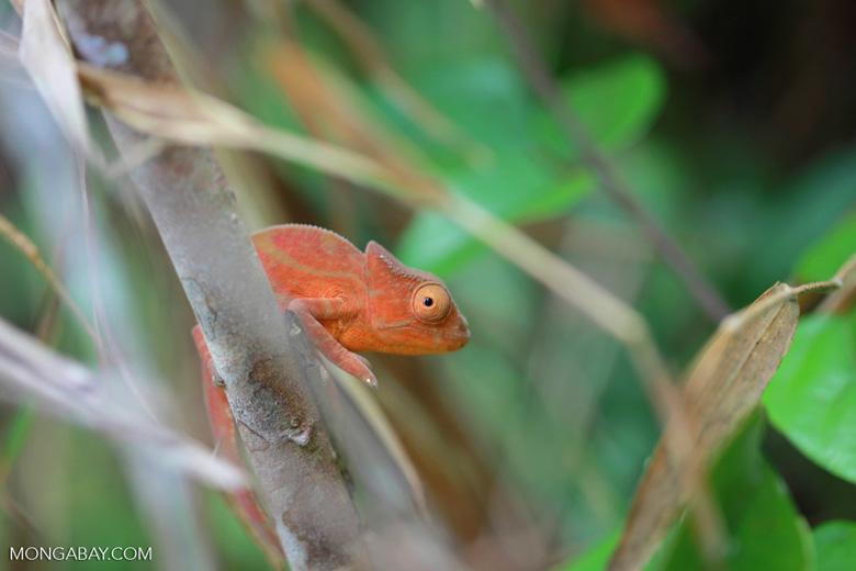 Orange Parson's chameleon (juvenile) [madagascar_0804]