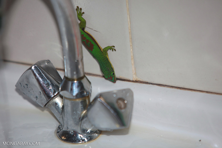 Lined Day Gecko (Phelsuma lineata) in the bathroom drinking from a sink faucet [madagascar_0818]