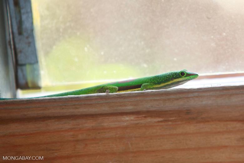 Lined Day Gecko (Phelsuma lineata) [madagascar_0819]