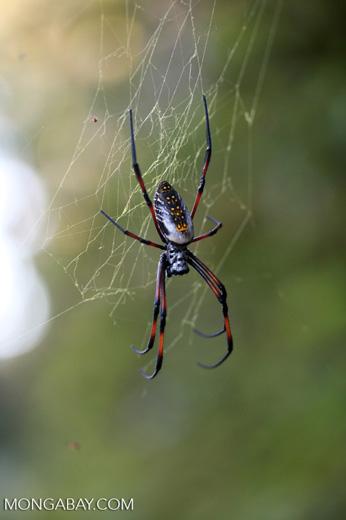 Madagascar Orb Weaving Spider [madagascar_0821]