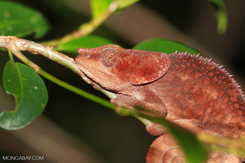 Sleeping reddish-brown Short-horned Chameleon (Calumma brevicorne) [madagascar_0827]