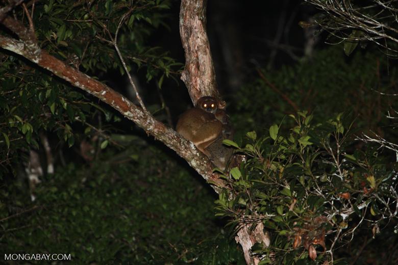 Eastern Woolly Lemurs (Avahi laniger) [madagascar_0841]