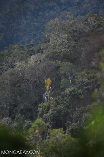 Traveler's palm in the Mantadia rainforest