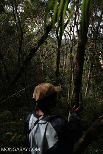 In search of the Greater Bamboo Lemur