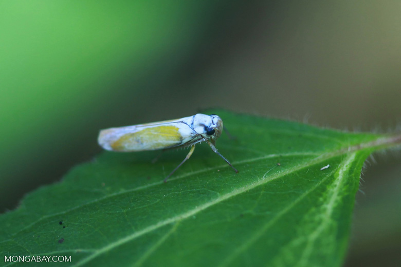 Blue and yellow leafhopper