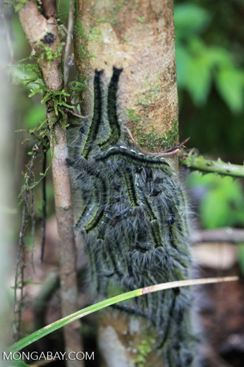 Mass of yellow, black and white caterpillars