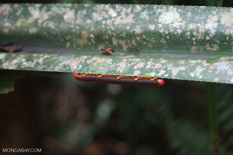 Red millipede in Madagascar [madagascar_0950]