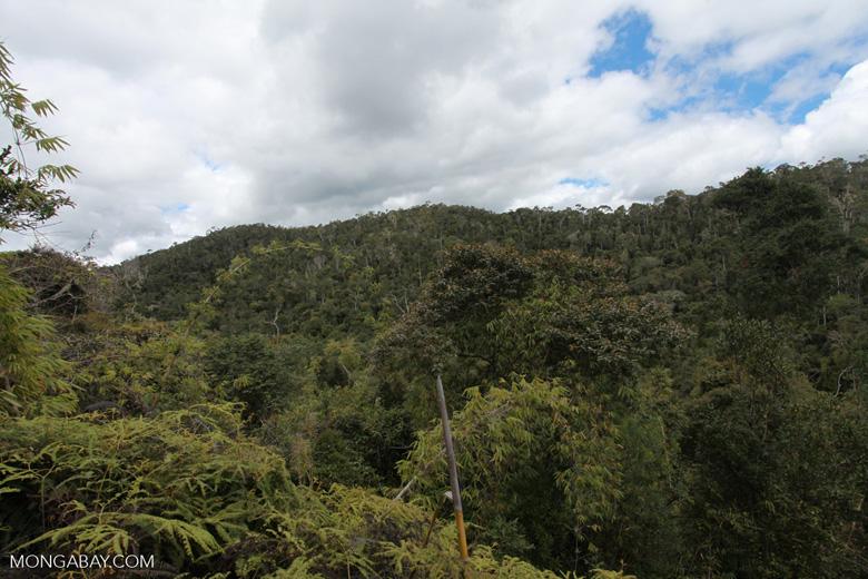 Mantadia bamboo forest