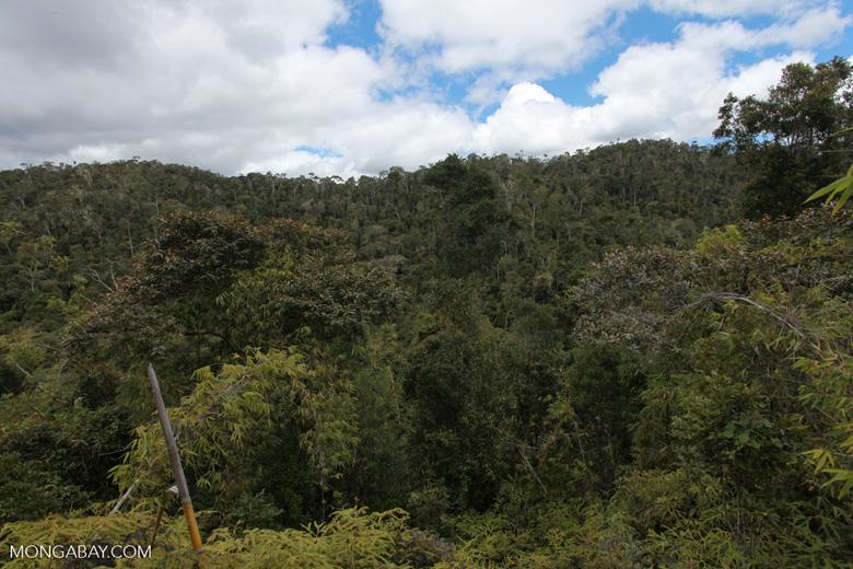 Mantadia bamboo forest [madagascar_0960]
